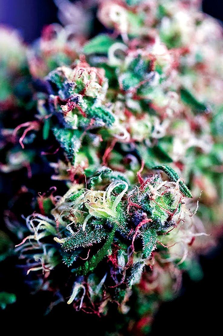 marijuana pics