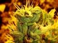 weed pics